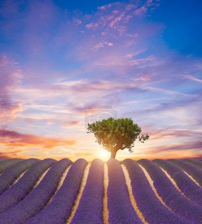 Photo pour Beau paysage de champ de lavande en fleurs au coucher du soleil, arbre solitaire en montée à l'horizon. Provence, France, Europe . - image libre de droit