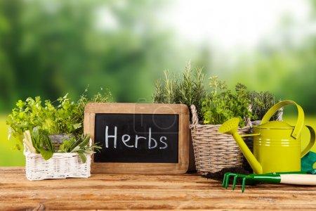 Fresh herbs in pots
