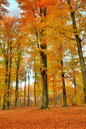 Colorful autumn landscape with beech yellow trees...
