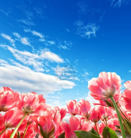 Photo for Beautiful colored tulips field with beautiful blue cloudy sky - Royalty Free Image