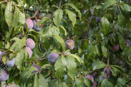 Photo pour Fruits mûrs de prune sur un arbre dans le verger d'été. - image libre de droit