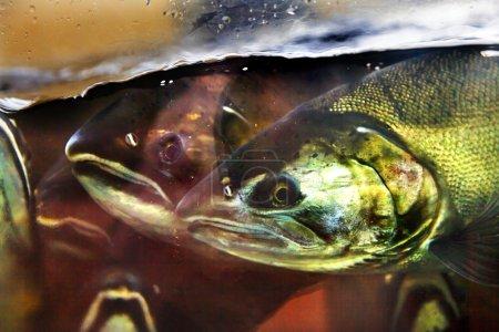 Fear Salmon Oncorhynchus tshawytscha Issaquah Hatc...