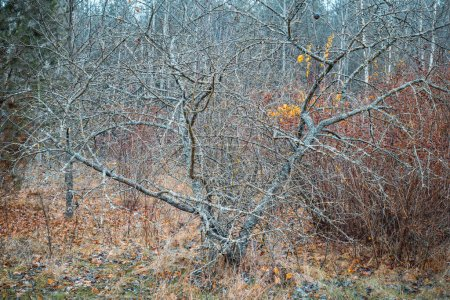 Photo for Autumn forest landscape. Old wild apple tree with fallen yellow leaves. - Royalty Free Image