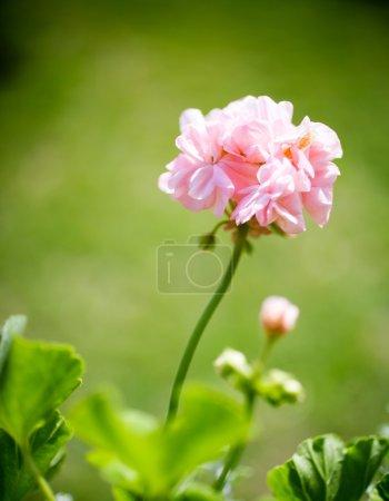 Elegant pink pelargonium