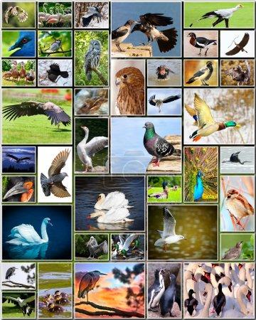 Photo pour Collage de diverses espèces d'oiseaux - image libre de droit