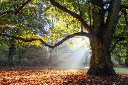 Photo pour Chêne puissant enveloppé dans le soleil - image libre de droit