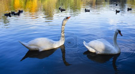 Gracefull swans floating on water