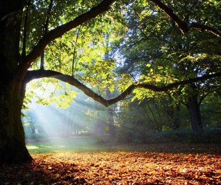 Photo pour Magnifique ancienne chêne dans la forêt - image libre de droit