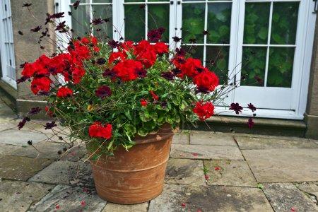 Photo pour Grande jardinière en terre cuite avec géraniums rouges et fleurs cosmos chocolat . - image libre de droit