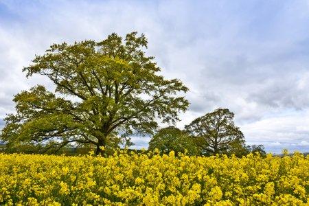 Photo pour Paysage rural avec chêne et champ de colza . - image libre de droit