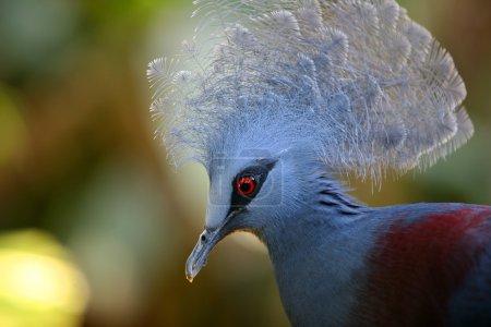 Beautiful Blue Crowned Pigeon