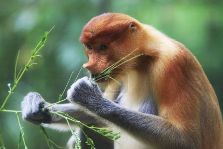 Proboscis Monkeys, Nasalis larvatus, or long-nosed...