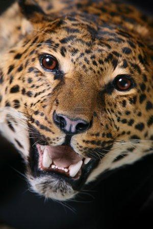 Photo pour Tête de léopard avec un gros plan de bouche ouverte - image libre de droit