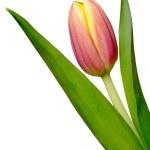 Постер, плакат: Tulip