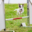 Agility dog with a Jack Russell Terrier...