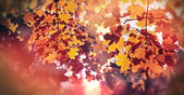 Beautiful autumnal leaves in late afternoon
