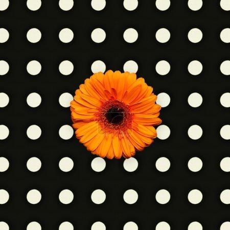 Orange gerber flower on polka dots background