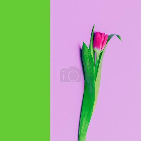 Spring romance. Tulip. Minimalism style