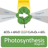 Photosynthesis diagram Schematic vector illustration of the photosynthetic process