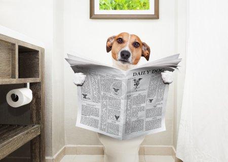 Photo pour Jack Russell Terrier, assis sur un siège de toilette avec des problèmes de digestion ou de constipation lire le magazine ou le journal potins - image libre de droit