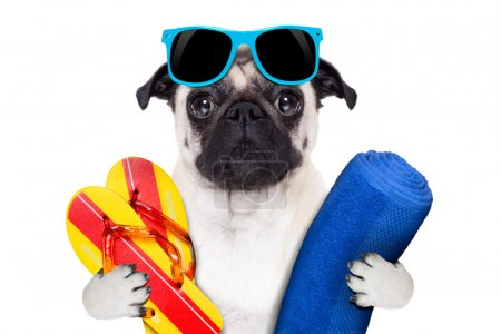 Photo for Pug dog on summer vacation with flip flops and a big blue towel wearing fancy blue sunglasses - Royalty Free Image