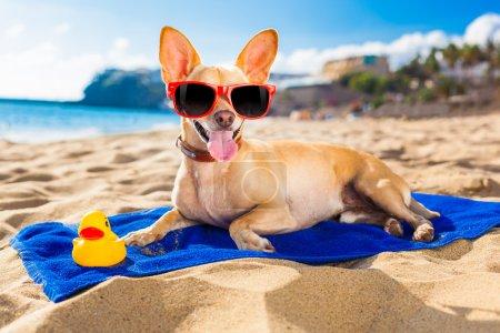 Chihuahua summer dog