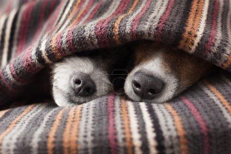 couple de chiens