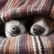 Couple of dogs in love sleeping together under the...