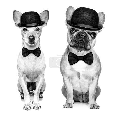Photo pour Comédien couple classique de chiens portant un chapeau melon et cravate noire isolé sur fond blanc. - image libre de droit