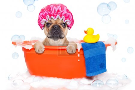 Photo for French bulldog dog in a bathtub not so amused about that , with yellow plastic duck and towel, covered in foam , isolated on white background, wearing a bathing cap - Royalty Free Image