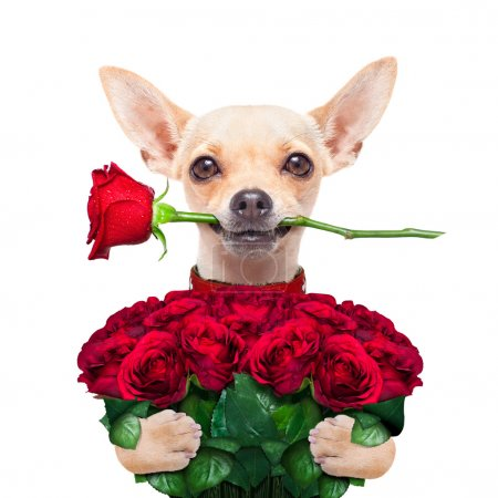 Valentines chihuahua dog holding a bunch of red ro...