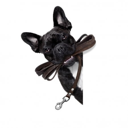 Photo pour French bulldog dog   waiting to go for a walk with owner, leather leash in mouth, behind blank  banner, isolated on white background - image libre de droit