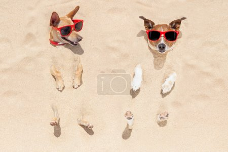 Photo for Couple of two dogs  buried in the sand at the beach on summer vacation holidays , having fun and enjoying ,wearing red sunglasses fun and enjoying ,wearing red sunglasses - Royalty Free Image