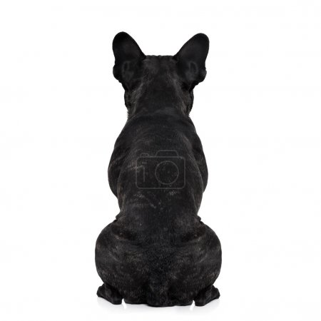 Photo for French bulldog dog looking straight, from behind showing back and  rear torso , while sitting , isolated on white background - Royalty Free Image
