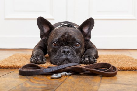 Photo for French bulldog dog waiting and begging to go for a walk with owner , sitting or lying on doormat - Royalty Free Image