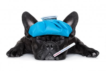 Photo pour Bouledogue français très malade avec banquise ou sac sur la tête, les yeux fermés et souffrant, thermomètre dans la bouche, isolé sur fond blanc - image libre de droit
