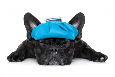 Photo for French bulldog dog very sick with ice pack or bag on head, eyes closed and suffering isolated on white background - Royalty Free Image