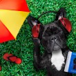 French bulldog dog  listening to oldies with headp...