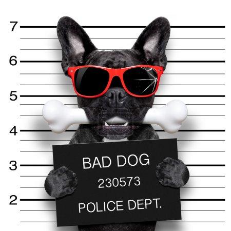 Photo pour Drôle mignon français bulldog tenant une pancarte tandis que mugshot est prélevé, os dans la bouche et coupables, porter des lunettes de soleil rouges - image libre de droit