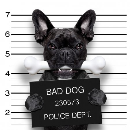 Photo for Funny cute french bulldog holding a placard while a mugshot is taken, bone in mouth and guilty - Royalty Free Image