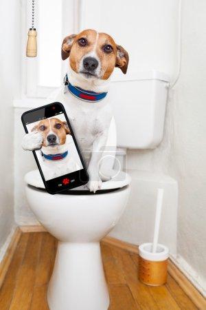 Photo pour Jack Russell Terrier, assis sur un siège de toilette avec des problèmes de digestion ou de constipation à l'air très triste, prenant un selfie - image libre de droit