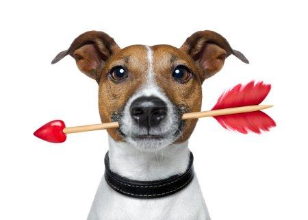 Photo pour Valentines jack chien russell en amour tenant une flèche d'amours avec bouche, isolé sur fond blanc - image libre de droit