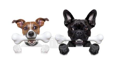 Photo pour Couple de deux affamés, et jaloux chien côte à côte, derrière une bannière vierge ou un mur, isolé sur fond blanc, envie dans l'air - image libre de droit