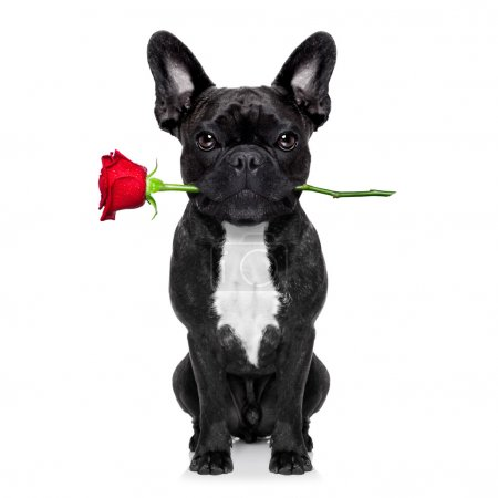 Photo for Valentines  french bulldog dog in love holding a rose with mouth , isolated on white background - Royalty Free Image