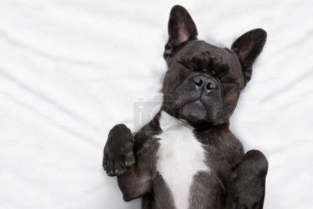Photo pour Bouledogue français chien avec maux de tête et la gueule de bois dormant dans le lit, vous rêvez de vous - image libre de droit