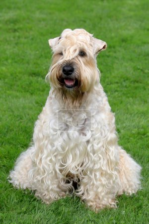 Funny Irish Soft Coated Wheaten Terrier