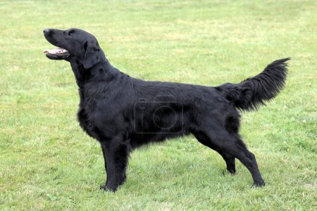 Black Flat Coated Retriever