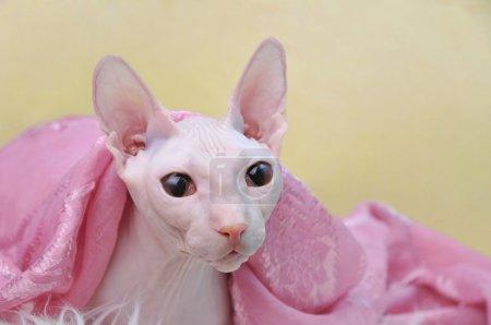 Sphynx hairless cat...