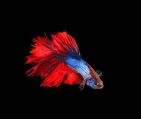 red and blue siamese betta fighting fish full tail and fin isola
