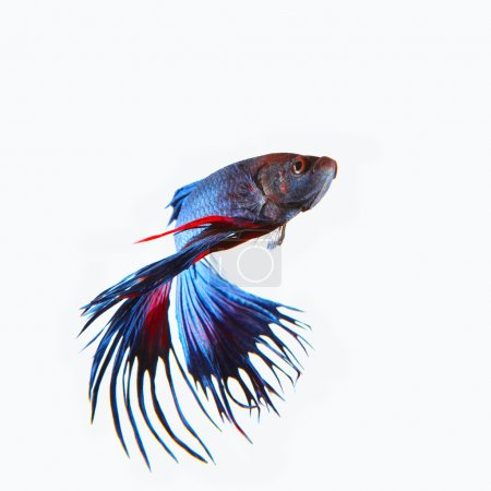 close up siamese blue  crown tail fighting betta fish isolated w